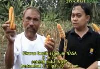 Gambar Budidaya Jagung Hibrida NASA