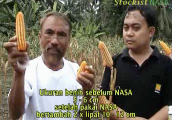 Budidaya Jagung Hibrida dengan Pupuk NASA