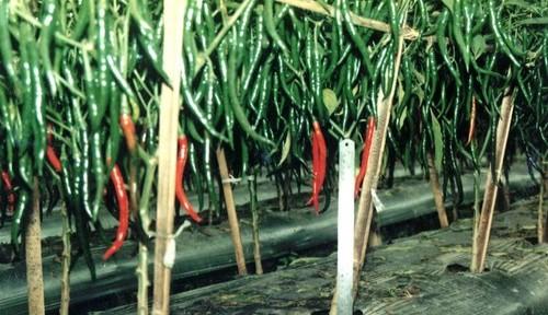Gambar Budidaya Cabai Organik