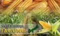 Gambar Teknik Budidaya Jagung