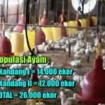 Kesaksian Budidaya Ayam Broiler Kediri