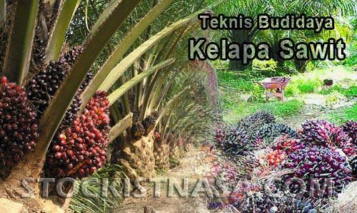 Gambar Budidaya Kelapa Sawit