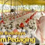 Teknik Budidaya Ayam Broiler (Pedaging)