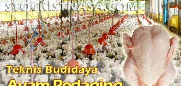 Gambar Teknik Budidaya Ayam Pedaging