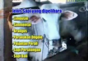 Gambar Budidaya Sapi Potong Lampung