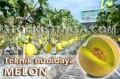 Teknik Budidaya Melon