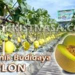 Teknik Budidaya Tanaman Melon