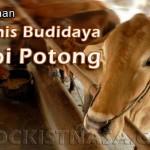 Teknik Budidaya Sapi Potong