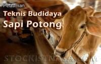 Teknis Budidaya Sapi Potong