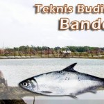 Teknik Budidaya Ikan Bandeng