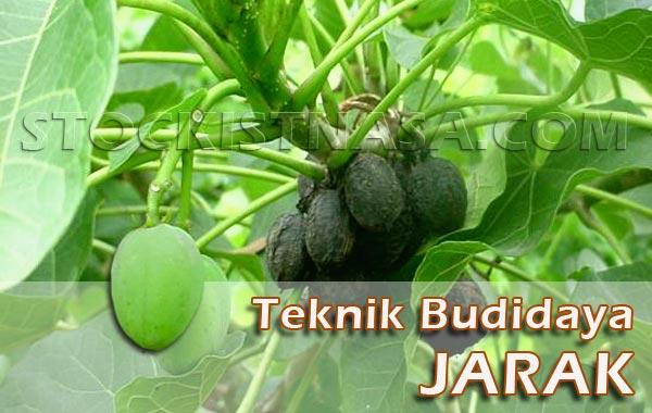 Teknik Budidaya Jarak