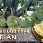 Teknik Budidaya Buah Durian