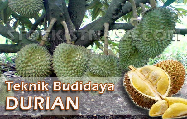Teknik Budidaya Durian