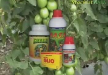 Kesaksian Budidaya Tomat NASA Kerinci