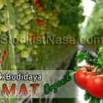 Teknik Budidaya Tanaman Tomat