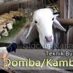 Teknik Budidaya Domba / Kambing