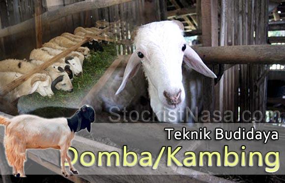 Teknik Budidaya Domba/Kambing Potong