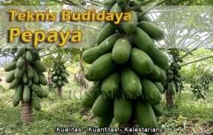 Teknik Budidaya Pepaya