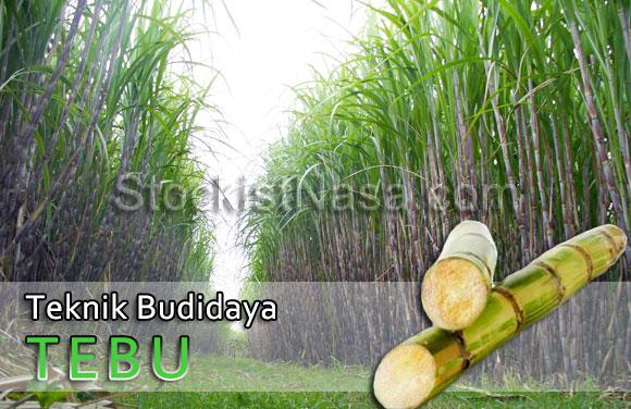 Teknis Budidaya Tebu