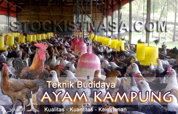 Teknik Budidaya Ternak Ayam Kampung