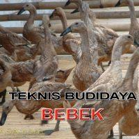 Teknik Budidaya Bebek / Itik